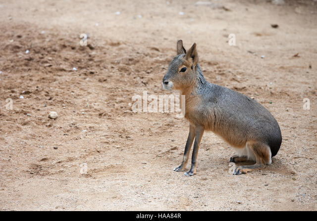 Mara - Dolichotis patagonum, Patagonian cavy, big rodent, relative of guinea pig, common in Patagonian steppes of - Stock Image