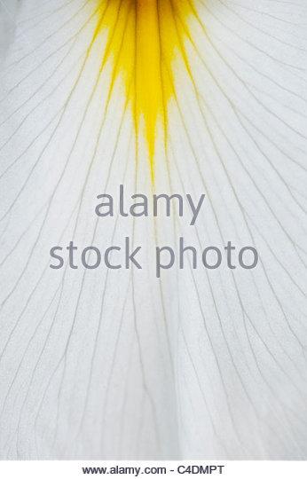 Iris ensata machimusume petal pattern - Stock Image