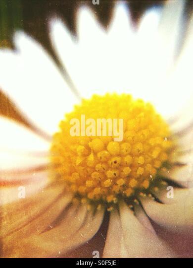 Close up of a daisy - Stock Image