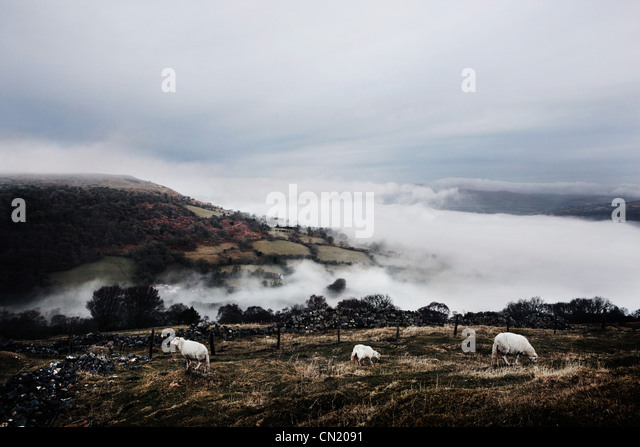 Sheep in field, Wales, UK - Stock Image