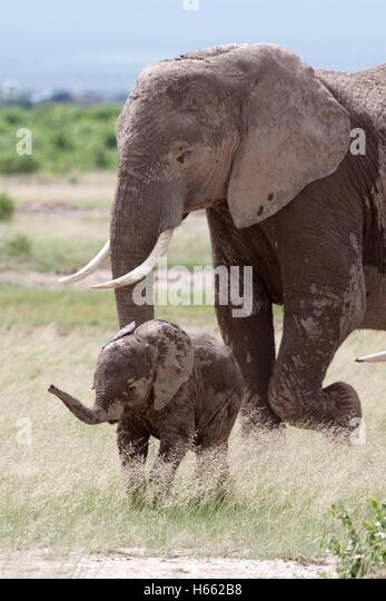 On safari in Amboseli National Park, Kenya. - Stock Image