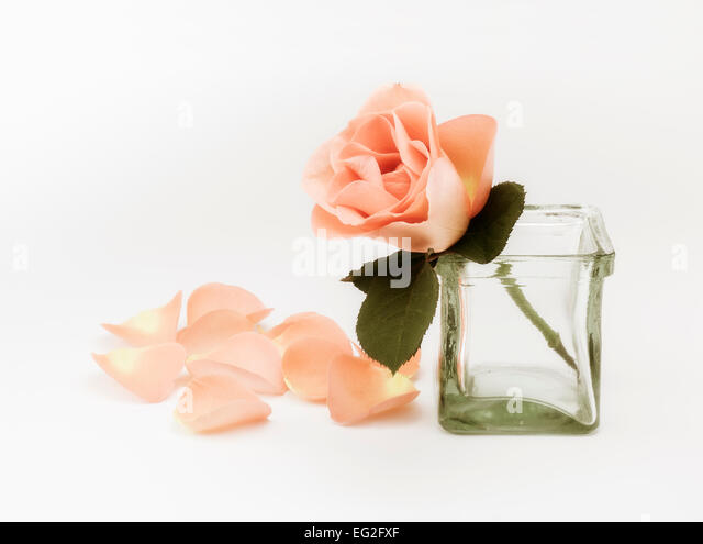Pastel Rose and Petals - Stock Image