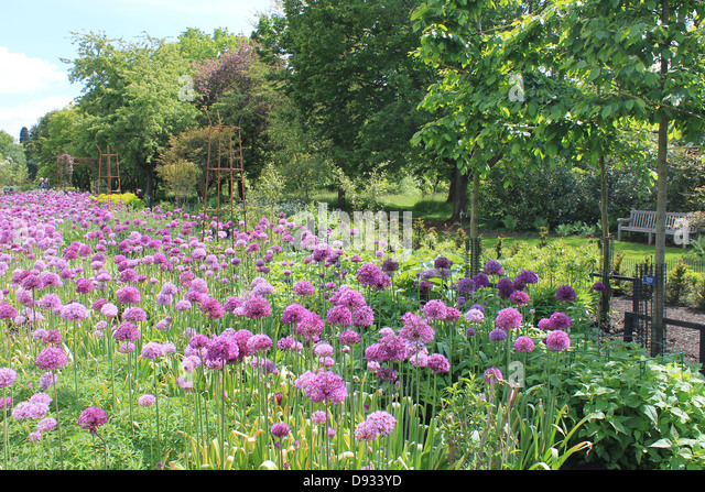 Alliums in the Sir Harold Hillier Gardens, near Romsey, Hampshire, UK - Stock Image