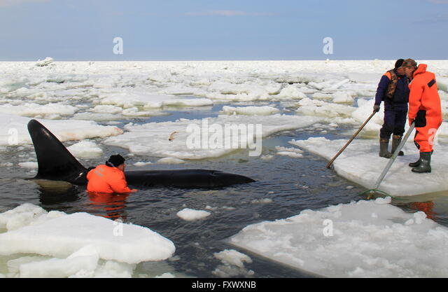 Sakhalin Region, Russia. 19th Apr, 2016. An orca trapped in ice in the Sea of Okhotsk off Sakhalin Island in Russia's - Stock Image