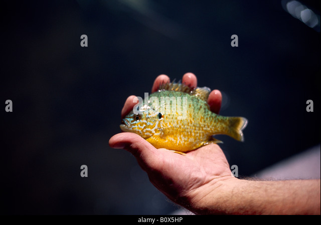 Green sunfish stock photos green sunfish stock images for Bluegill fish tank