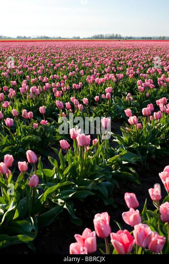 Pink tulip fields near Mount Vernon Washington State USA - Stock Image