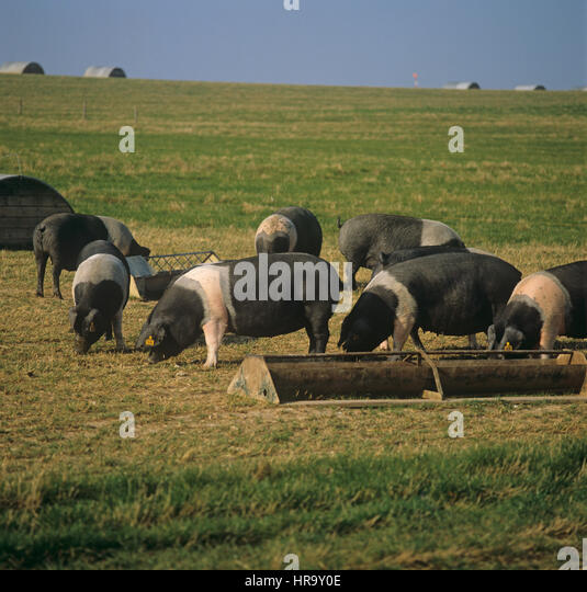 British saddleback pigs in outdoor runs with pig arks and feeders - Stock Image