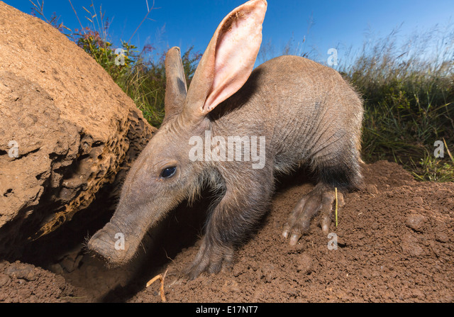 Young Aardvark(Orycteropus afer)looking for ants and termites.Namibia - Stock Image