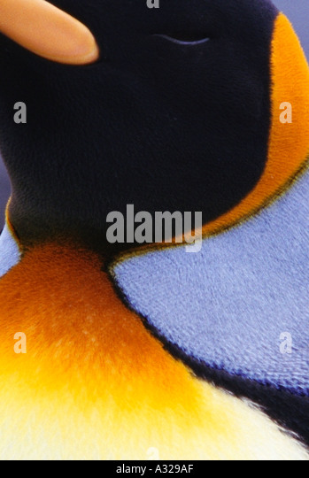 King Penguin South Georgia - Stock-Bilder
