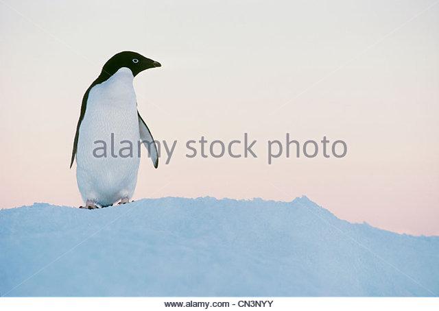 Adelie penguin, Antarctica - Stock Image