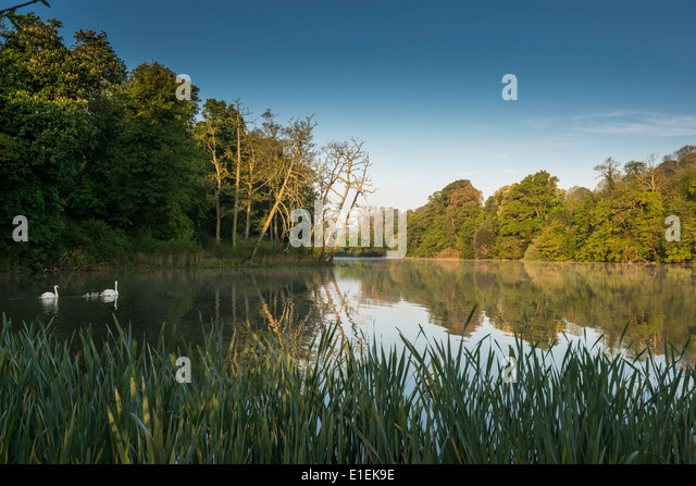 Lake at dawn with swans on lake in grounds of country house hotel near village of Brixton, Devon, West of England - Stock Image