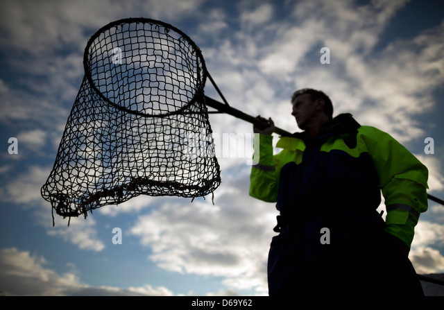 Worker with fishing net at salmon farm - Stock Image