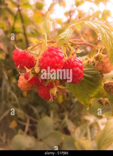 Bunch of raspberries on a raspberry bush with warm nostalgic lighting - Stock Image
