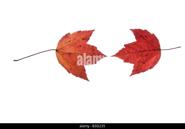 Maple leaf on white background - Stock Image