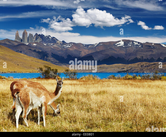 Guanaco in Torres del Paine National Park, Laguna Azul, Patagonia, Chile - Stock Image