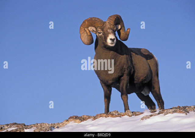 tk0187, Thomas Kitchin; Bighorn ram  Winter  Rocky Mountains  Ovis canadensis - Stock Image