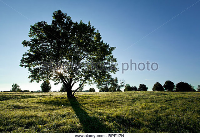 Solitary deciduous tree in early morning - Stock Image