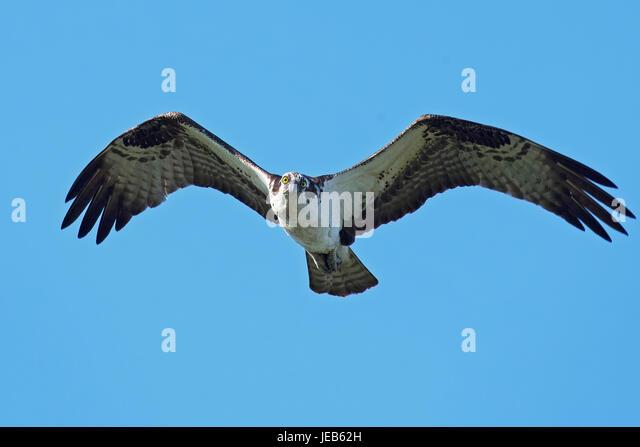 Osprey in Flight - Stock Image