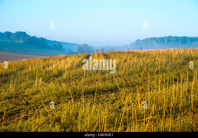 Field of stalks after after Sunflower harvest - France - Stock Image