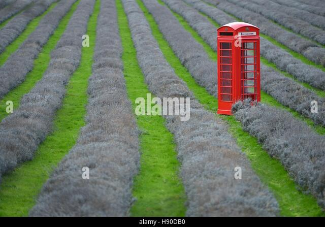 Red telephone box in a field of lavender, Mayfield Lavender, Surrey - Stock Image