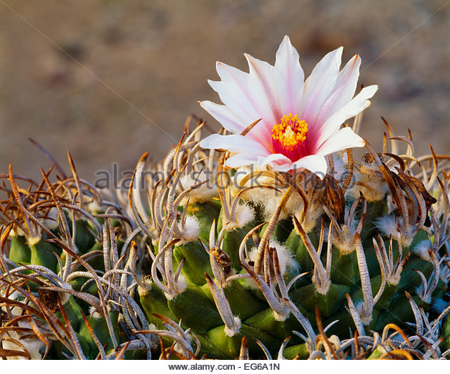 [Turbinicarpus schmiedickeanus var. schmiedickinus].  Very rare in the wild.  Chihuahuan Desert.  Tamaulipas State, - Stock Image
