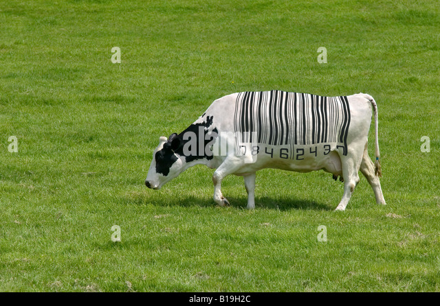 Concept image of a dairy cow with a barcode for markings - Stock Image
