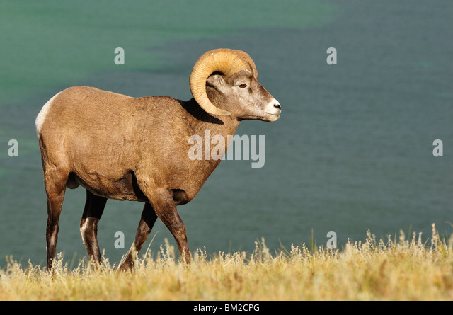 Bighorn Sheep, Jasper National Park, Alberta, Canada - Stock Image