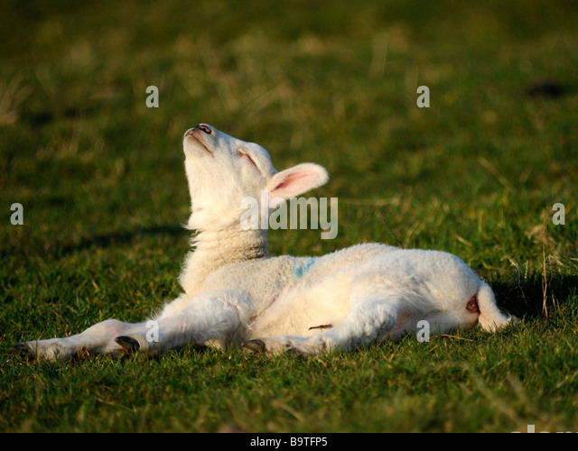 A happy lamb basking in the warm sunshine. - Stock Image