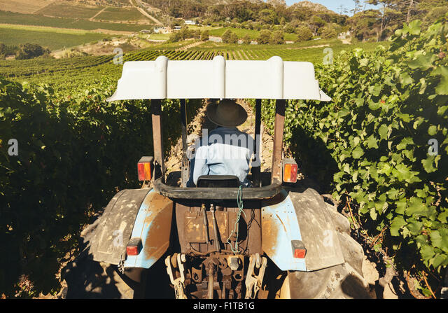 Rear view of a farmer driving tractor through vineyard during harvest time. - Stock Image