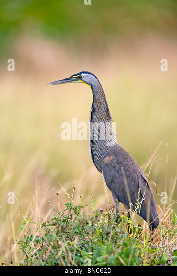 Bare-throated Tiger-Heron - Stock-Bilder