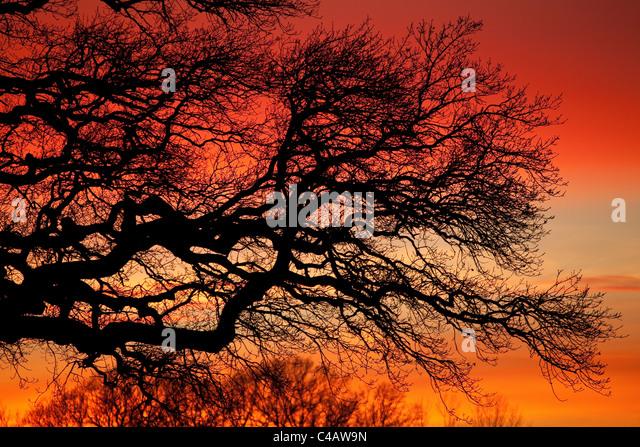 Oak branches and colorful winter skies at Råde, Østfold fylke, Norway. - Stock-Bilder