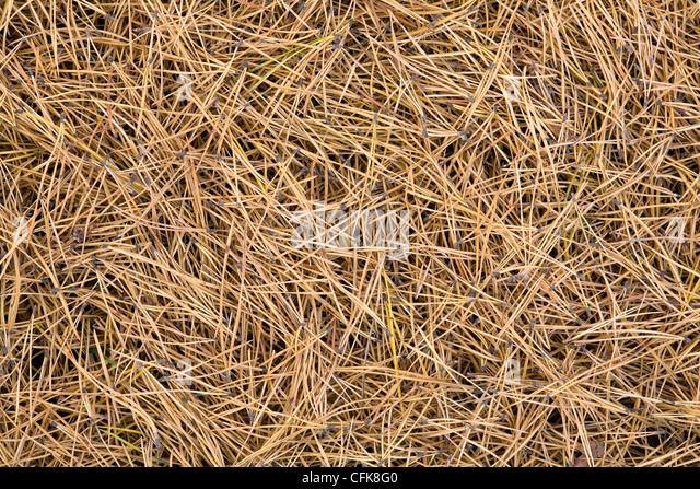 texture of pine tree needles - Stock-Bilder