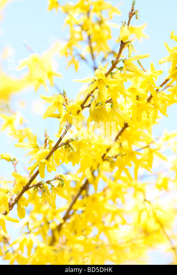 charming yellow forsythia stems in a contemporary style fine art photography Jane Ann Butler Photography JABP524 - Stock Image