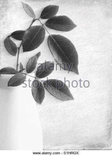 rose, stem with Leaves in a white vase - Stock Image