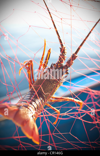 Lobster caught in fishing net - Stock Image