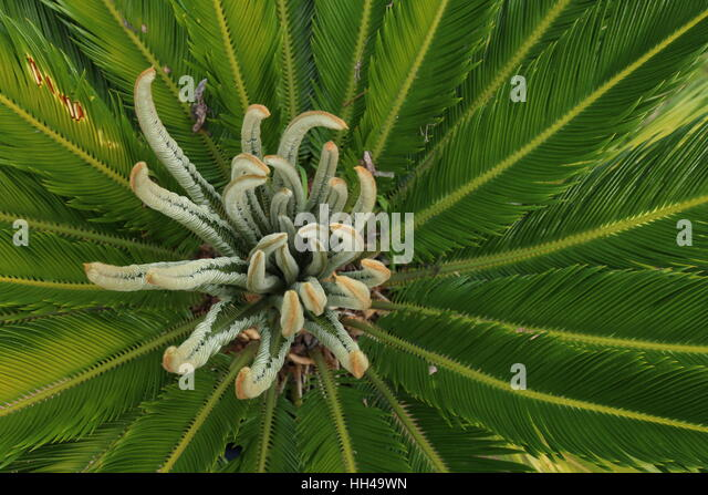 sago palm tree stock photos sago palm tree stock images. Black Bedroom Furniture Sets. Home Design Ideas