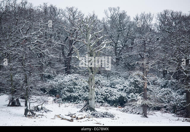 Richmond Park in the snow - Stock Image