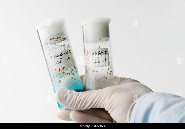 Drosophila melanogaster genetics research - Stock Image