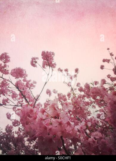 Pretty, pink sakura or cherry blossoms with painterly vintage texture overlay. - Stock Image