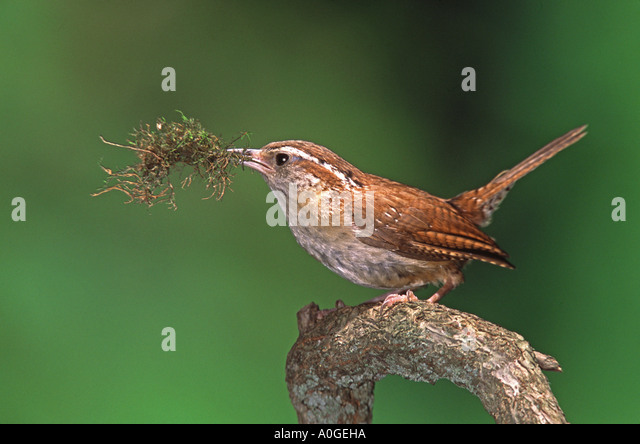 Carolina Wren with Nest Material - Stock Image