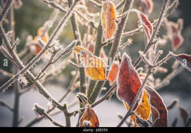 Frost on golden leaves in the beginning of winter with hoarfrost in the morning sunrise - Stock Image