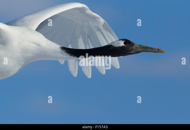 Red-crowned Crane (Grus japonensis) in flight, Hokkaido, Japan, February - Stock Image
