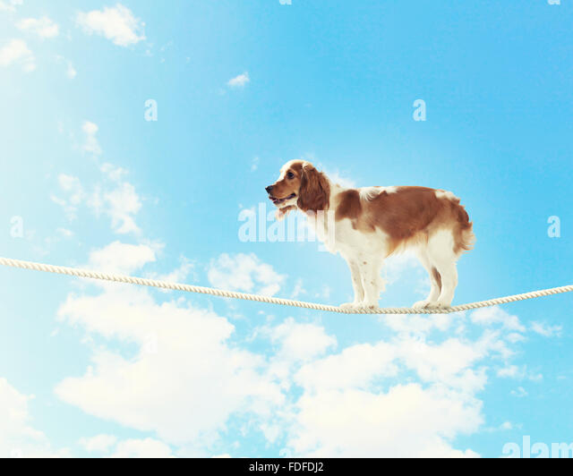 Image of spaniel dog balancing on rope - Stock-Bilder