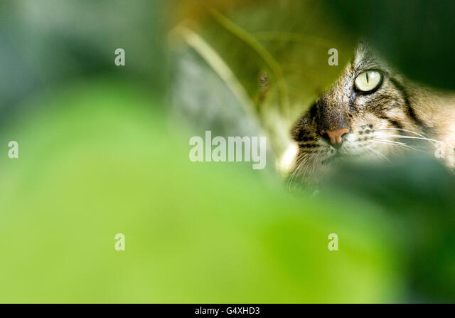 Maine Coon Cat peeking through leaves - South Padre Island, Texas, USA - Stock Image