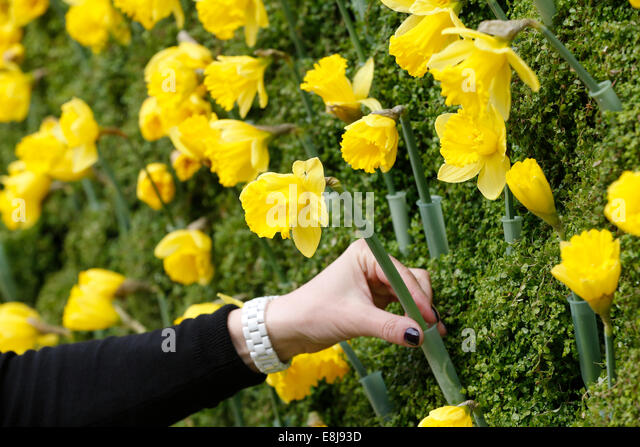 Fight against cancer. Process 'A Jonquil for Curie' from the Marie Curie Institute. - Stock Image