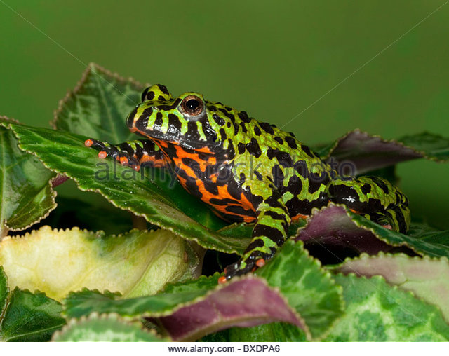 a Fire Bellied Toad (Bombina orientalis) native to China - Stock Image