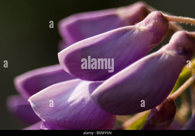 glycine du japon fabaceae fabio joseph dupouy nature ranunculaceae Aquilegia vulgari - Stock Image