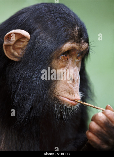 Chimp eating termites off a stick Uganda - Stock Image