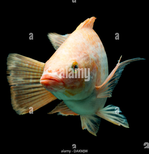 Oreochromis niloticus stock photos oreochromis niloticus for Is tilapia a man made fish