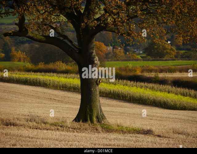 Tree and fields in a rural Nottinghamshire English landscape in autumn (the fall) - Stock Image